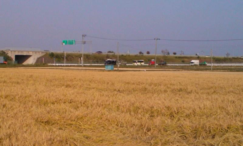 稲刈りの途中で