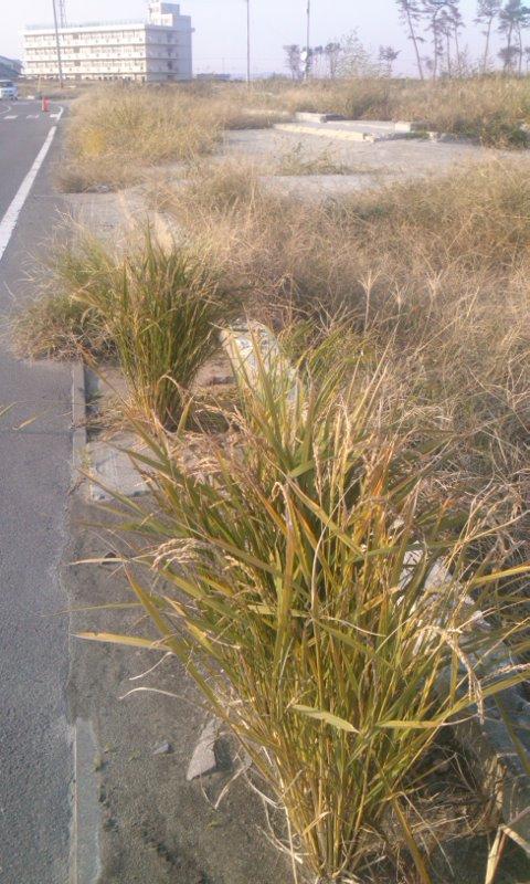 荒浜の稲がみのりました